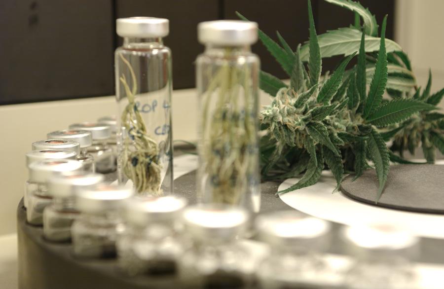Нови открития за рисковете и ползите за нервната система от употребата на канабис